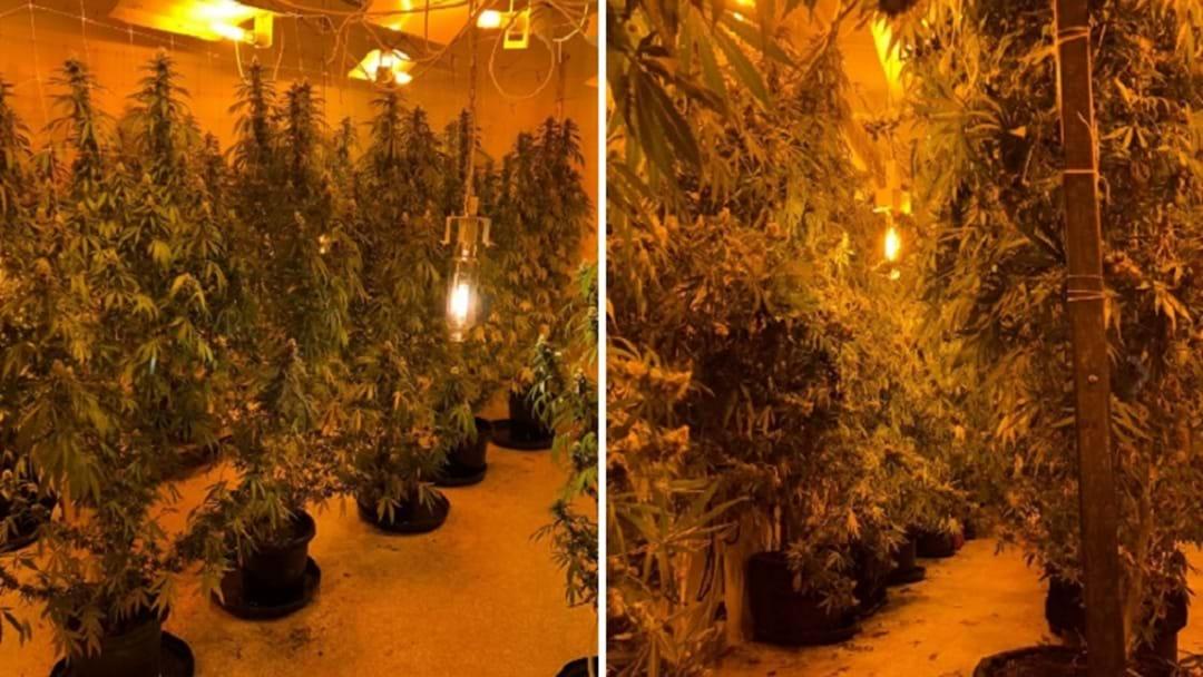 WATCH: Half A Million In Cannabis Seized In Wongawallan