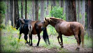 Article heading image for Culling Brumbies set to be made illegal under new laws