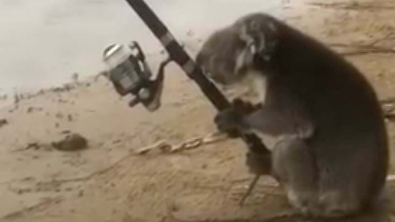 Article heading image for VIDEO: This Koala Actually Fishing Is Just Too Adorable