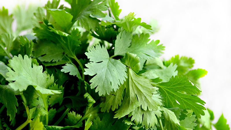Article heading image for Afraid To Share Your Love of Coriander? This Is The Festival For You!