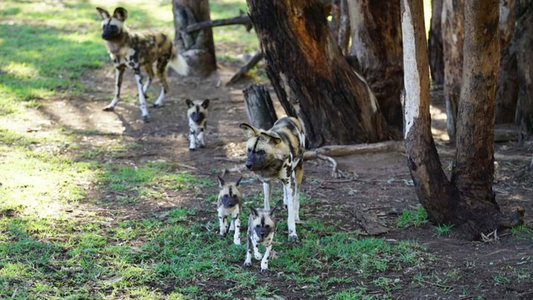 Altina Wildlife Park Welcomes TWO Litters Of African Hunting Pups!