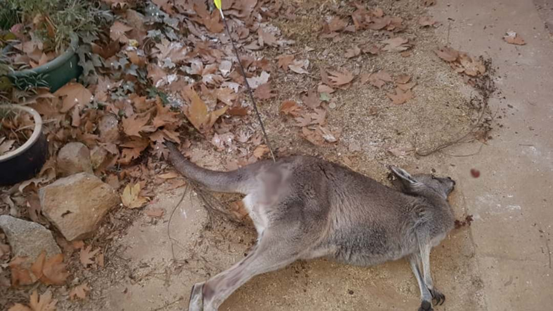 KANGAROO SHOT WITH ARROW, LEFT TO DIE IN CANBERRA YARD