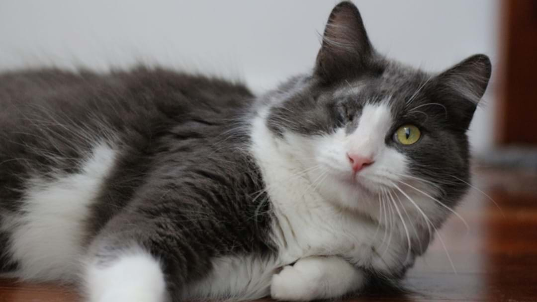 Cat Rescued By The RSPCA After Being Hurled Over A Fence Has Recovered And Needs A Home