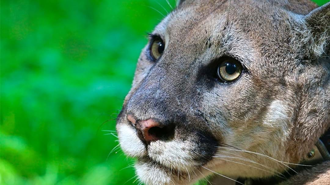 Um… People Reckon There's A Cougar On The Loose South West Of Perth