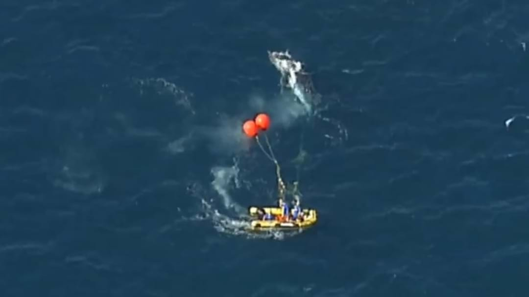 WHALE FREE: Distressed Humpback Untangled From Shark Nets
