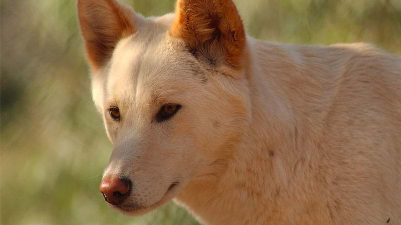Article heading image for WA Mine Worker Mauled By Three Dingoes While In A 'Safe Area'