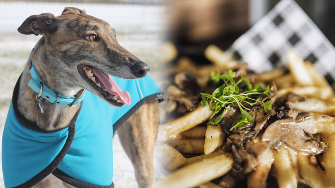 Melbourne Is Getting A Day Dedicated To Greyhounds AND Gravy!