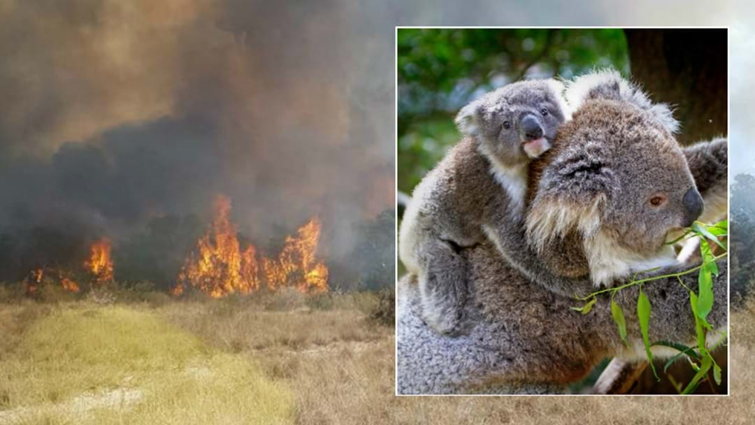 Salt Ash Bushfire Destroys Koala Breeding Ground