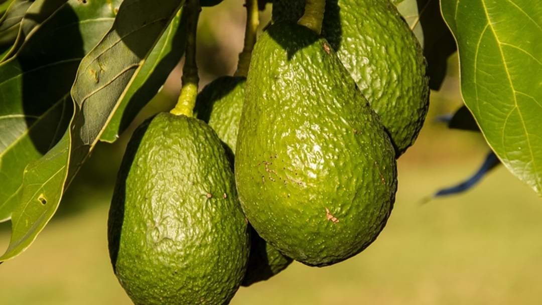 Avocado Thief Charged