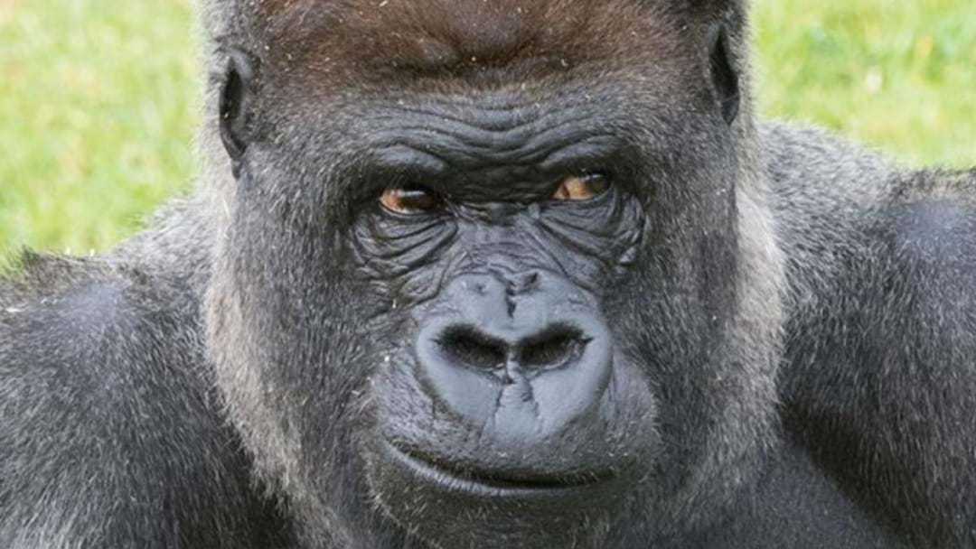 TRIBUTES POUR IN AFTER MOGO ZOO'S SILVERBACK GORILLA DIES
