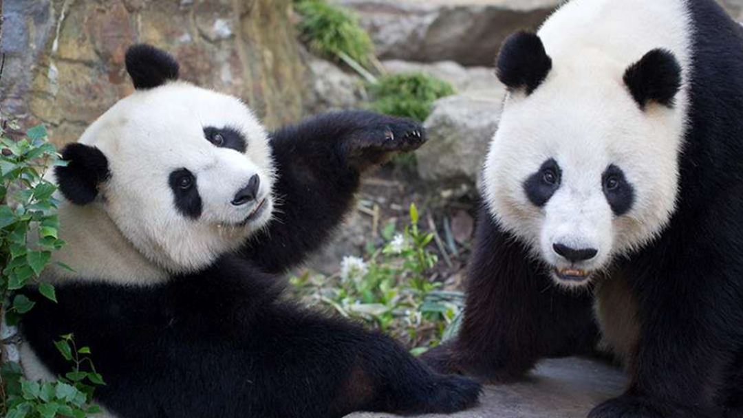 Zoos SA's Bid To Keep Wang Wang And Fu Ni
