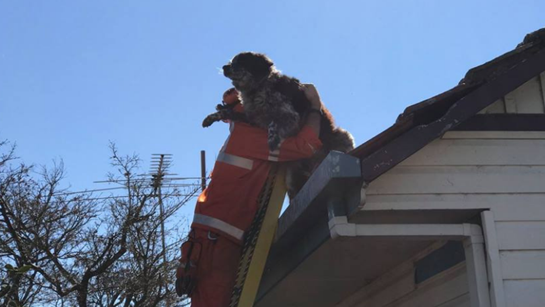Chucky The Wodonga Dog Rescued From Rooftop 7ks From Home