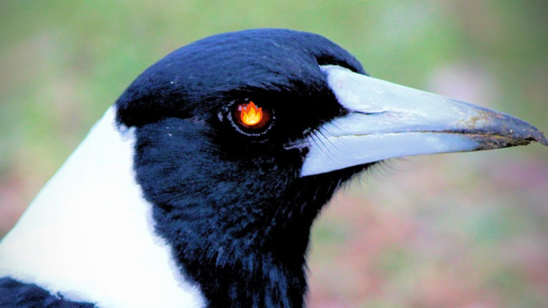 Has A Magpie Messed You Up?