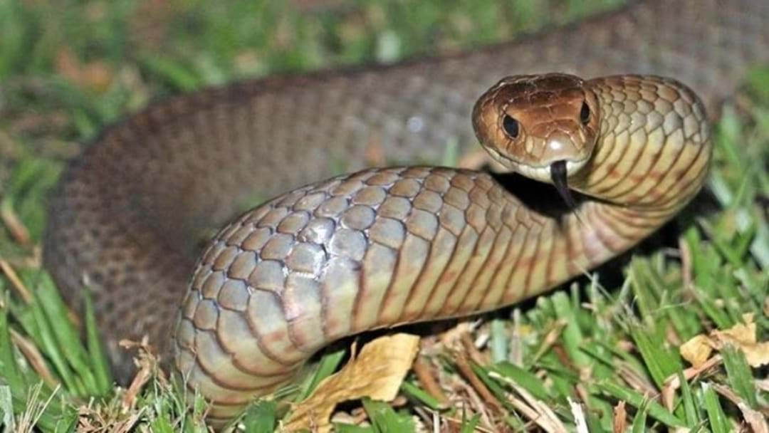 Venomous Snakes Out And About In SA
