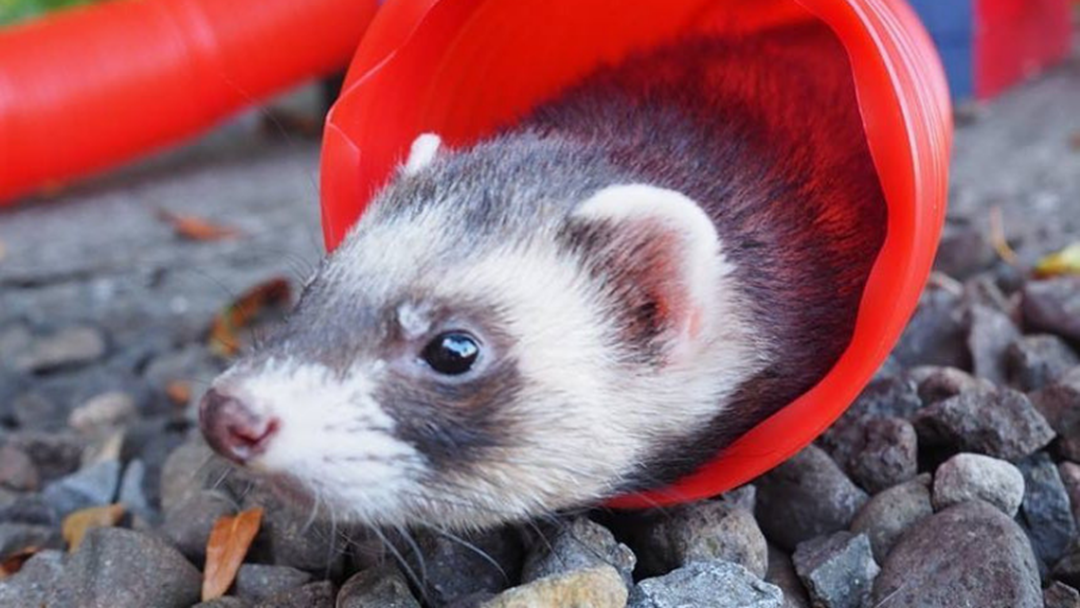The Shepparton Show Is Here Next Month And It Now Has Ferret Racing!