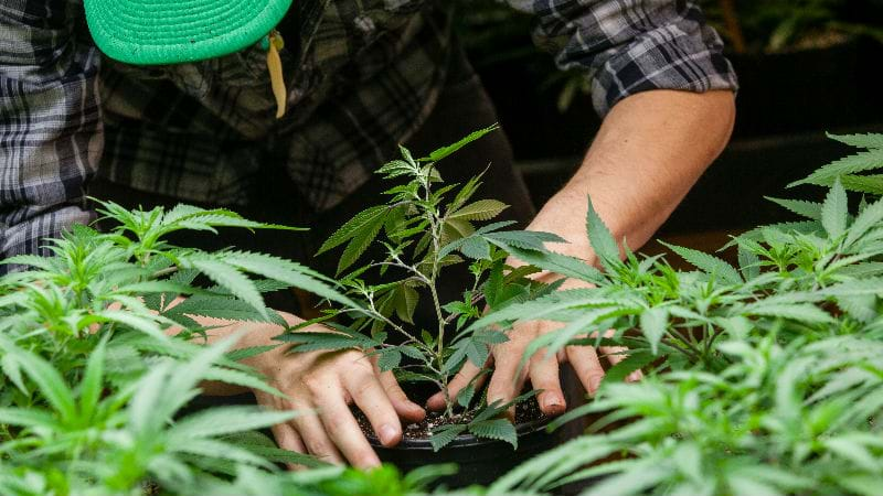 Article heading image for ACT BACKBENCHER WANTS CANNABIS LEGALISED