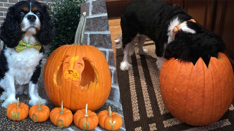 Article heading image for Dog-O-Lanterns Are The Paw-fect Way To An Aussie Halloween