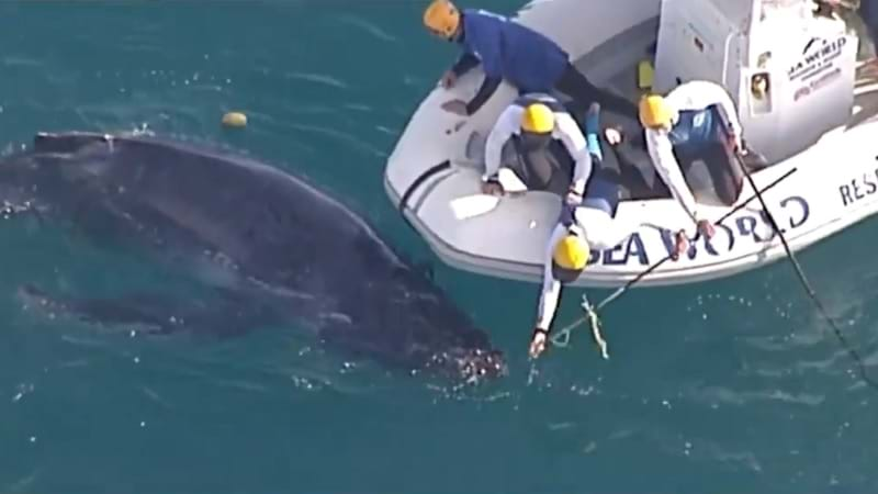 Article heading image for Young Whale Caught In Nets Off Gold Coast