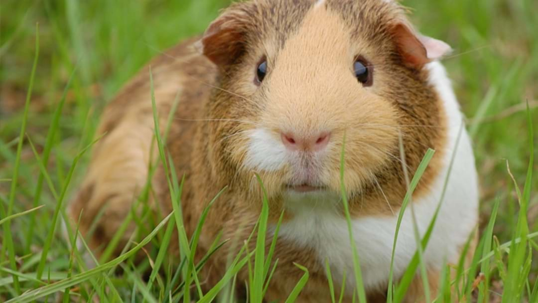 Over 200 Guinea Pigs Rescued By RSPCA From 'Disturbing' Set Up In Brisbane Garage