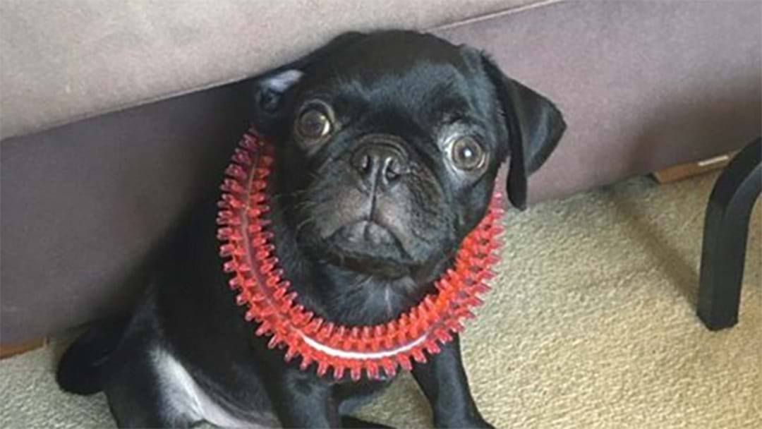 Truly Evil Robbers Had The AUDACITY To Steal A Pug Named 'Egg'