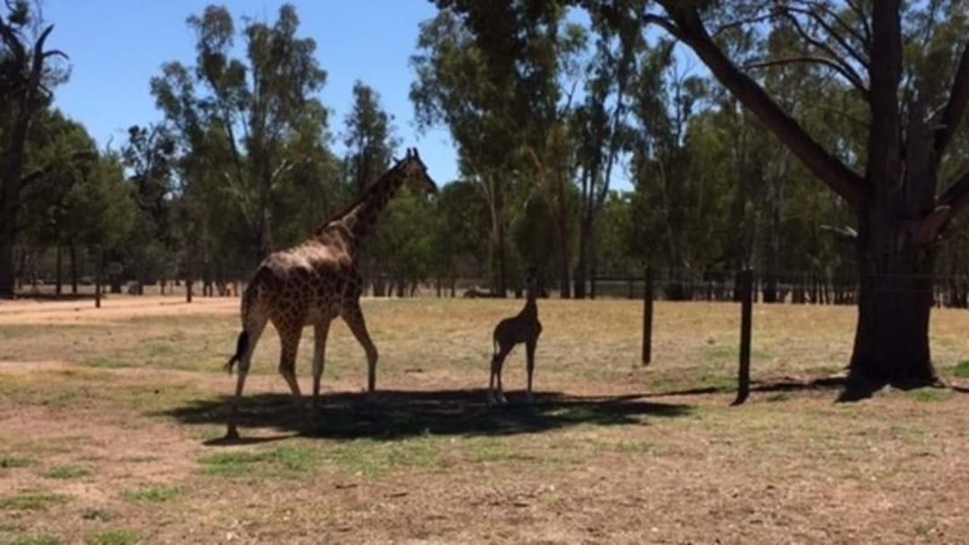 New baby Giraffe at Altina Wildlife Park