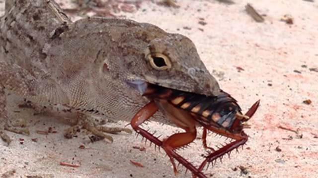 lizard eating cockroach